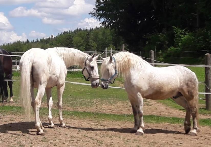 zwei weiße Pferde